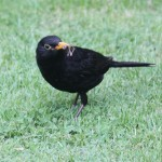 Mother blackbird